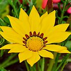 Yellow Gazania by relayer51