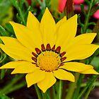 Yellow Gazania by relayer51