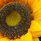 Sunflower by newbeltane