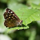 Speckled Wood - Pararge aegeria by Lepidoptera