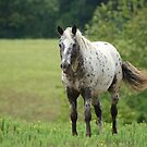 Appaloosa Beauty by Ruth Lambert