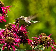 Broad-tailed Hummingbird by Thomas Young