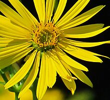 The Compass Plant by lorilee