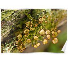 the lichen Poster