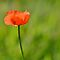 orange poppy by gmws