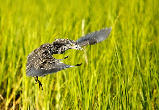 Young Night Heron - Yippie I can Fly by imagetj