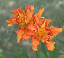 Day Lily- Hemerocallis fulva. by Tracy Faught