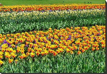 Yellow tulip field by stereoscopic