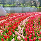 Amazing field of red and pink tulips by stereoscopic