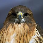 Close-up, red-shouldered hawk by fearonwoodphoto
