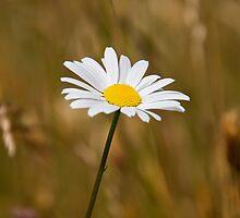 Daisy in a field by fearonwoodphoto