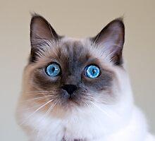 Ragdoll kitten by fearonwoodphoto