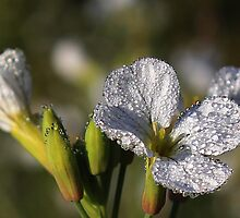 Dew Drops Galore by Donuts