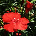 Red Dianthus by Sharon Woerner