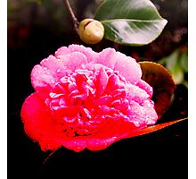 After the rains . . . the camelia flourishes Photographic Print