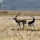 BLACK BUCKS by PALLABI ROY
