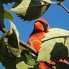 The Cardinal by privera