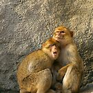 monkeys by gallofoto