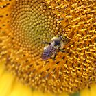 Sunflower, honey bee.... by Jeanette Muhr