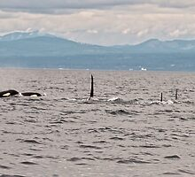 The Orca Family  by Judy Grant