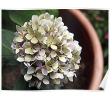 potted hydrangea Poster