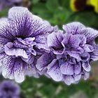 Fancy Nancies - Double Petunias by kathrynsgallery