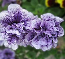 Fancy Nancies - Double Petunias by kathrynsgallery