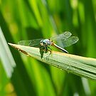 Perched Western Pondhawk  by NatalieCBell