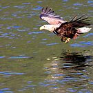 Sea Eagle's Water Landing by Laurel Talabere