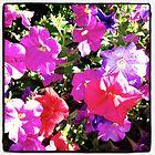 Petunias by Melodee Scofield