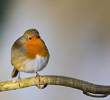 Belligerent Robin by Michael G Devereux