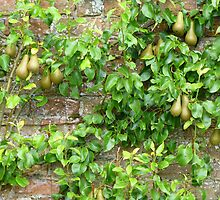 Espaliered Conference Pears by Fara