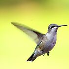 Little  Juvenile Humming Bird 2012 by Molly  Kinsey