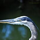 Blue Heron by torib