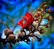 red silk cotton tree flower by carol brandt