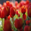 Tulip bonanza by Adriano Carrideo