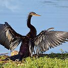 Anhinga Drying It's Wings by Kathy Baccari