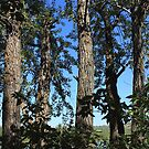 Tall balsam poplar trees by Jim Sauchyn
