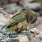 Kea 2 by johngs