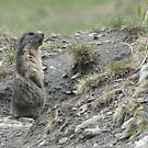 Marmot on guard by Anthony Brewer