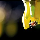 Bee and Kowhai flowers in the evening by Tony Foster