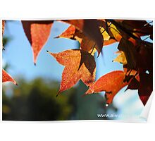 Sweet Gum Leaves Poster