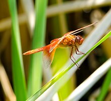 Red Flaming Dragon(fly) by NatalieCBell