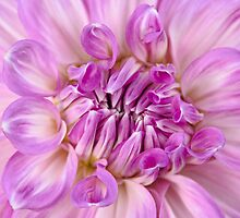 Dahlia in a Dream by Marilyn Cornwell
