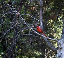 Cardinal In Tree by Barry W  King