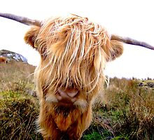 Attitude Hairy Coo by Karen Marr