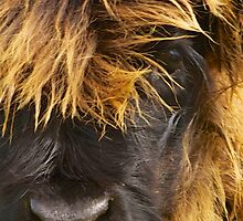 Eyeful of Hairy Coo by Karen Marr