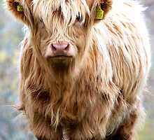 Dirty wee Hairy Coo by Karen Marr