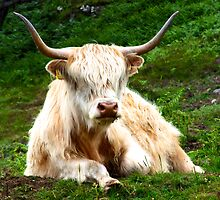 Female Hairy Coo by Karen Marr