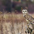 Short-eared Owl on a Stump by Tom Talbott